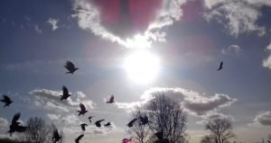 carrion crows on woolwich common