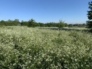 Woolwich Common Cow Parsley